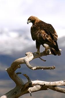 Homem de águia dourada com a primeira luz da manhã, aquila chrysaetos