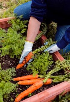Homem de alto ângulo, tirando as cenouras do solo