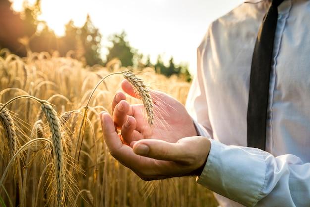 Homem de negócios, colocando uma espiga de trigo maduro
