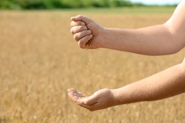 Homem despejando grãos de trigo no campo
