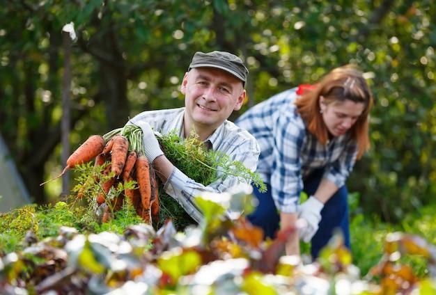 Homem e mulher adultos no jardim, colhendo cenouras