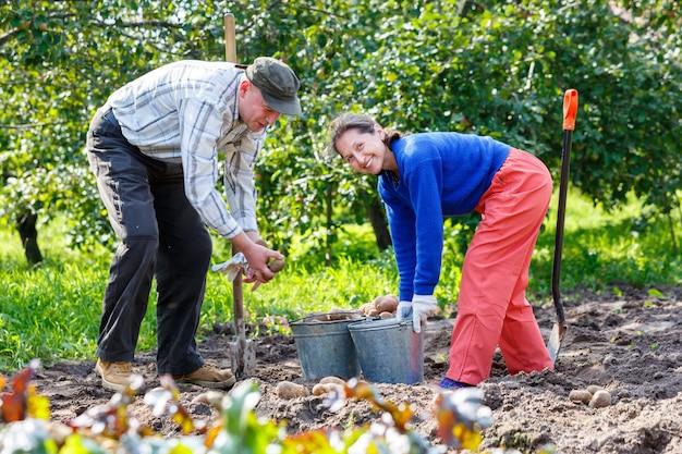 Homem e mulher adultos no jardim com baldes de batatas