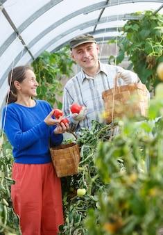 Homem e mulher em uma estufa com uma safra de tomates