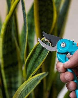 Homem jardineiro cortando dracaena trifasciata podre, planta cobra de perto