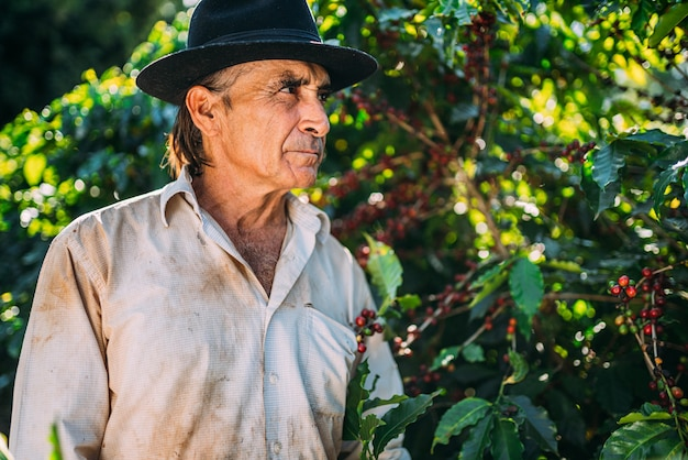 Homem latino colhendo grãos de café em um dia ensolarado. o fazendeiro de café está colhendo grãos de café. brasil