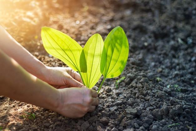 Homem, plantar, um, jovem, árvore tropical, em, a, manhã, aquecer, luz solar
