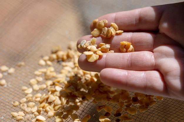 Homem secando sementes na peneira