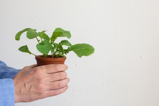 Homem segura um vaso nas mãos com mudas verdes de rabanete jovem
