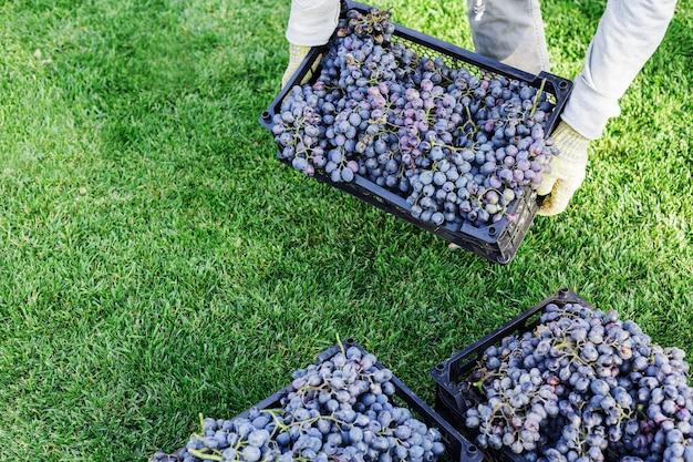 Homem segurando caixa de uvas maduras ao ar livre