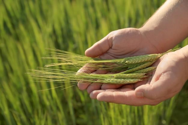 Homem segurando espigas de trigo em campo verde, close-up