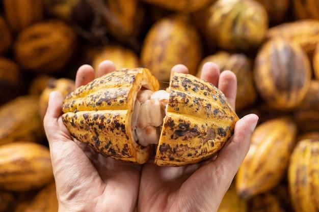 Homem segurando um fruto de cacau maduro à mão com feijão dentro.