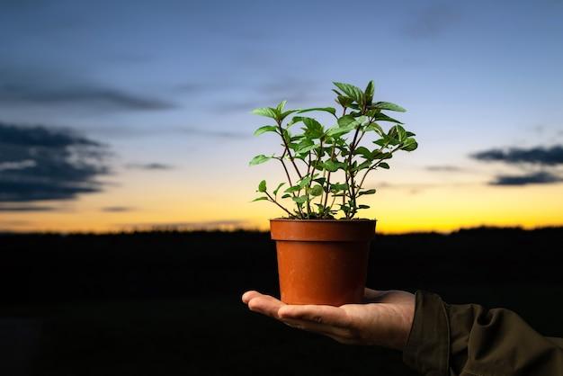 Homem segurando um pote com planta de hortelã-pimenta do lado de fora.