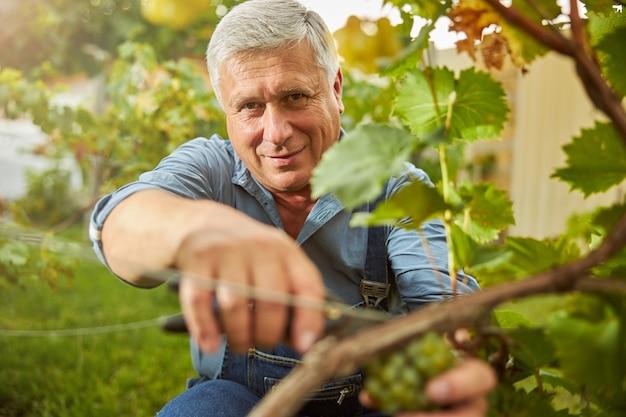 Homem sênior alegre segurando uma tesoura e cortando uvas na videira enquanto sorri para a câmera