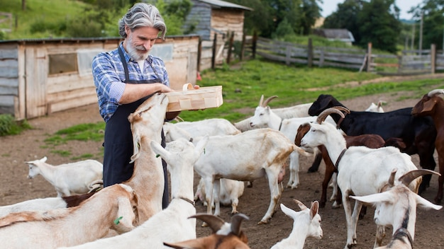 Homem sênior alimentando cabras