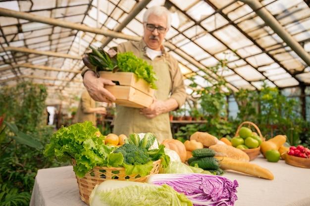 Homem sênior colhendo vegetais maduros em uma estufa enquanto os prepara para a venda. foco na comida