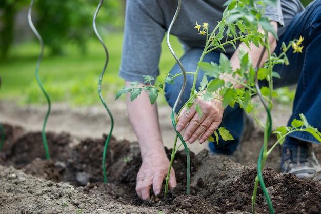 Homem sênior plantando tomates em seu enorme jardim, conceito de jardinagem