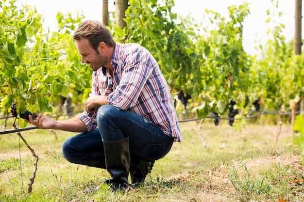 Homem tocando uvas