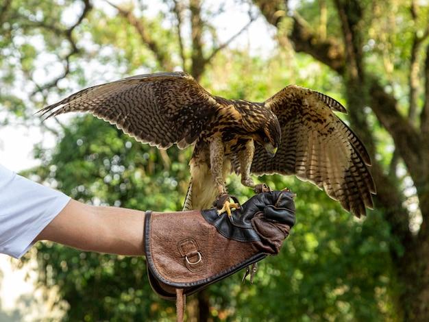 Homem treinando falcoaria com um falcão parabuteo unicinctus