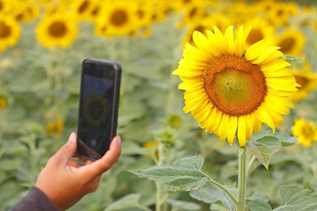Homem, usando, telefone, levando, foto, beleza, campo girassol