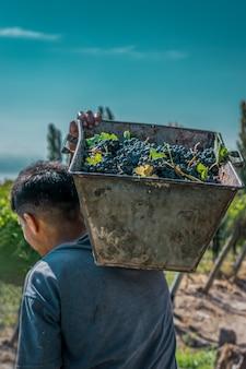 Homens colhendo uvas finas.