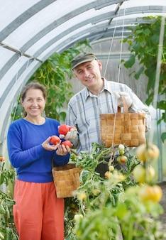 Homens e mulheres adultos colhem tomates