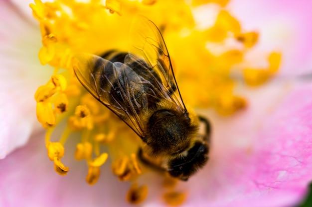 Honey bee coletando pólen na flor rosa rosa close-up.