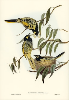 Honey-eater warty-faced (zanthomyza phrygia) ilustrado por elizabeth gould