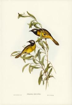 Honeyeater branco-eared (ptilotis leucotis) ilustrado por elizabeth gould
