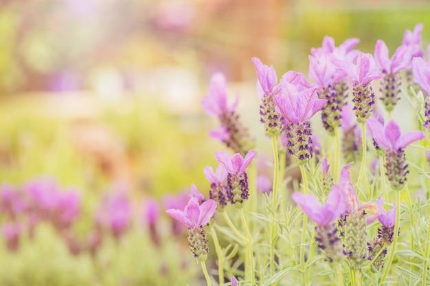 Horário de verão. alfazema florescendo em um campo