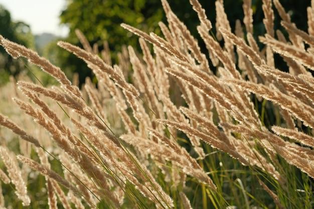 Horário de verão, grama florida sob os raios do sol poente, pano de fundo para o fundo. grama no campo selvagem, luz de fundo de foco seletivo