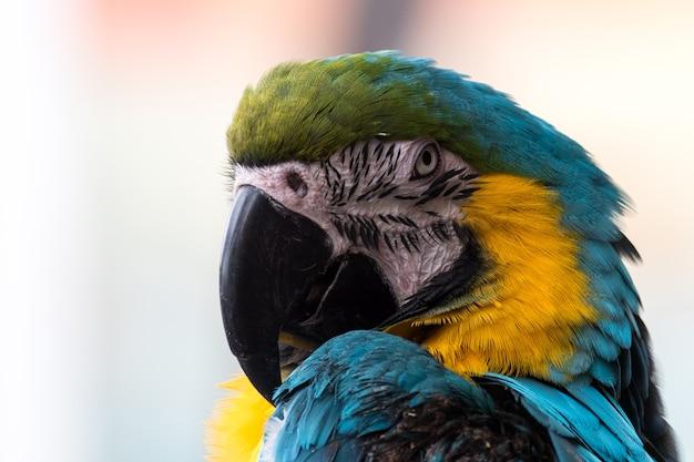 Horizontal close-up de uma arara azul e ouro, incluindo o bico