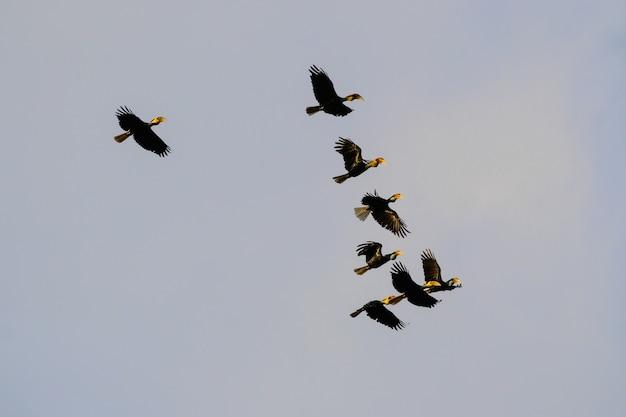 Hornbill, pássaros rhyticeros subruficollis recolhidos vôo migratório nas florestas férteis.