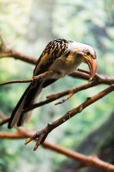 Hornbill vermelho-faturado sentado na árvore