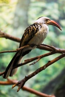 Hornbill vermelho-faturado