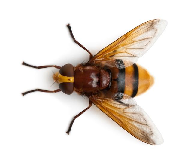 Hornet imitar hoverfly, volucella zonaria, em branco isolado