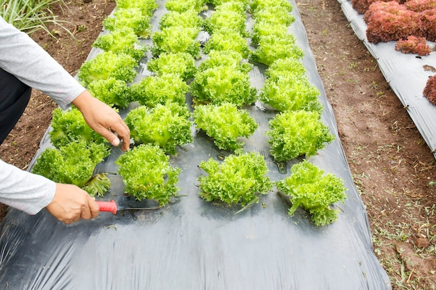 Horta com cobertura de plástico para o solo ou barreira contra ervas daninhas