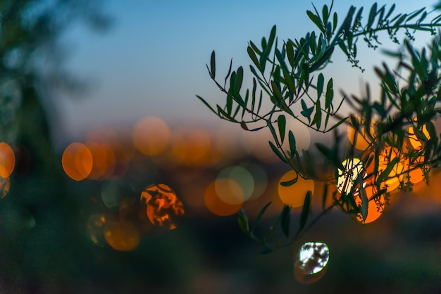 Horta getsêmani em jerusalém com um olival na prisão de jesus
