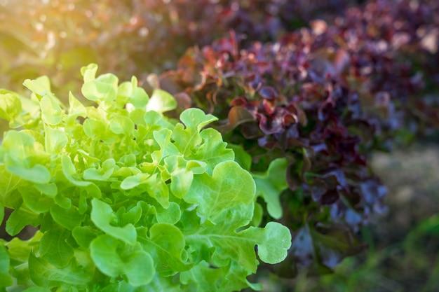 Hortas orgânicas crescentes e vegetais hidropônicos