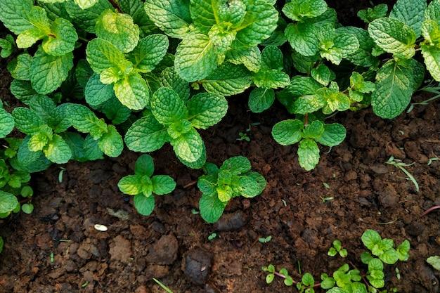 Hortelã fresca cresce no jardim
