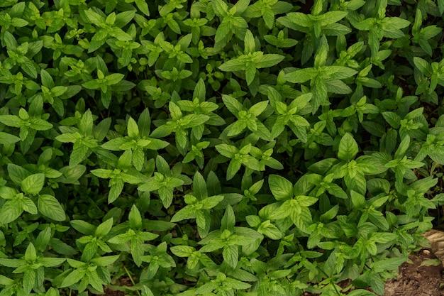 Hortelã orgânica fresca no jardim.