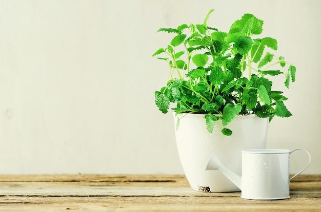 Hortelã orgânica verde sobre fundo claro. folhas de hortelã com vazamentos ensolarados, bokeh.