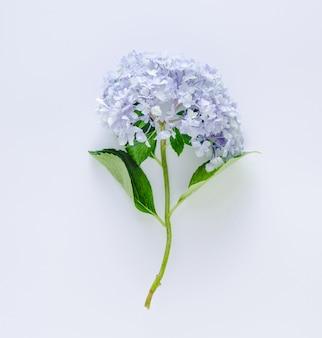 Hortênsia azul sobre fundo branco. espaço para escrever.
