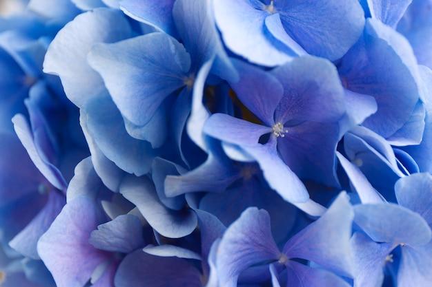 Hortênsia azul. superfície de flores de hortensia.