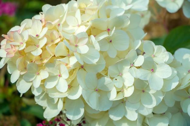 Hortênsia de flores cor de rosa. fundo natural floral para papel de parede, cartão postal, capa, banner. decoração de casamento. lindo buquê. hortênsia de folhas grandes.