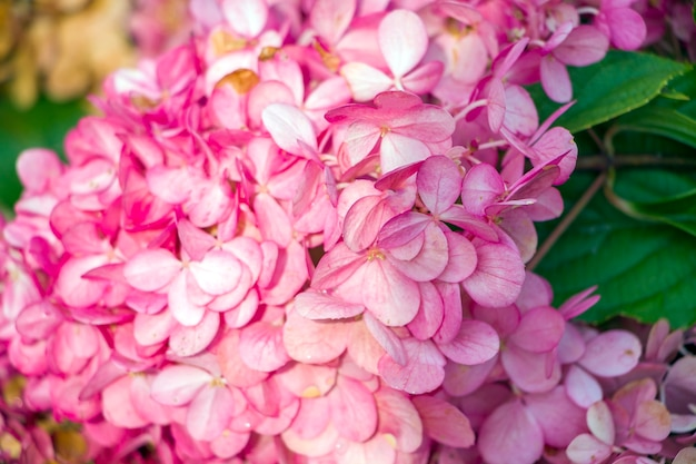 Hortênsia de flores cor de rosa. fundo natural floral para papel de parede, cartão postal, capa, banner. decoração de casamento. lindo buquê.