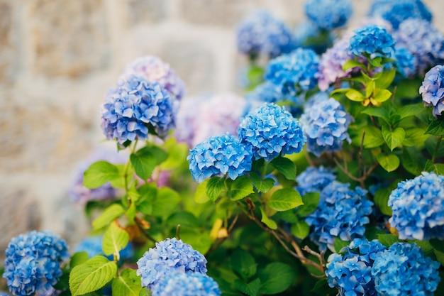 Hortênsia de flores rosa azul e azul na cidade velha de perast