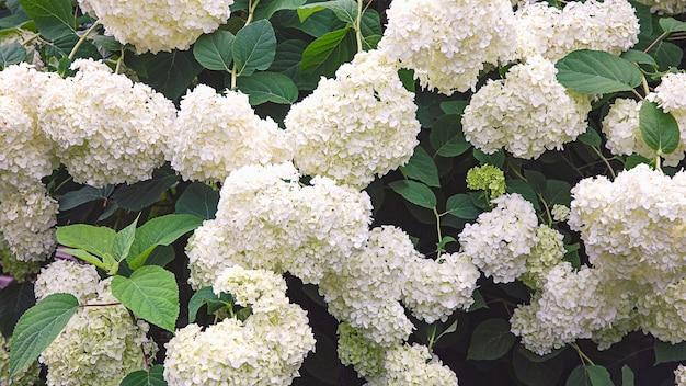 Hortênsia de jardim branco florescendo em um jardim de verão