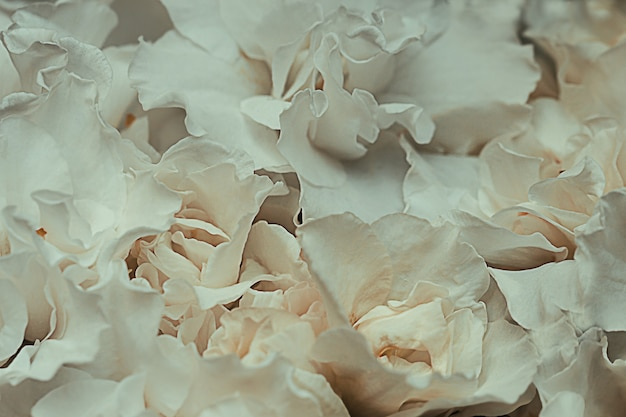 Hortênsia macrophylla ou pétalas de flores de hortensia brancas macias. profundidade de campo rasa para uma sensação suave e sonhadora. foco suave.