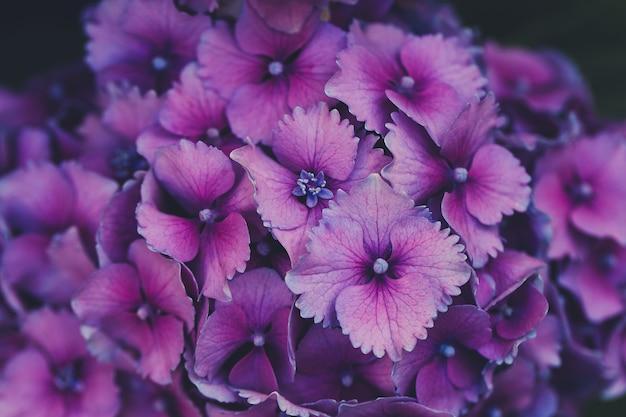 Hortênsia roxa em flor