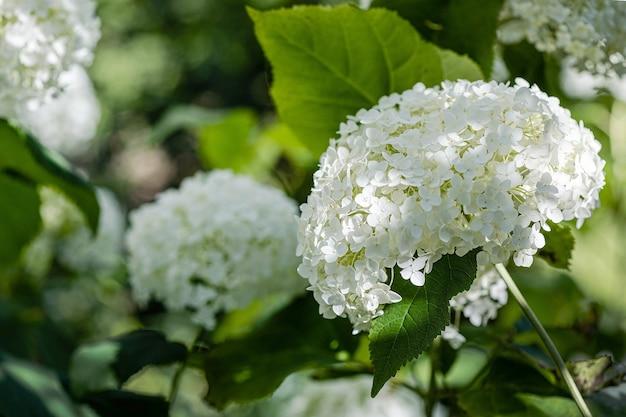 Hortênsias brancas florescem no jardim dia ensolarado de verão raio de luz